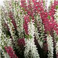 CALLUNA vulgaris D13 x6 SISTER Beauty Ladies Knospi