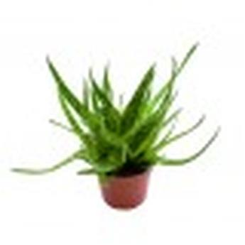 MINI ALOE bakerii D06 x12