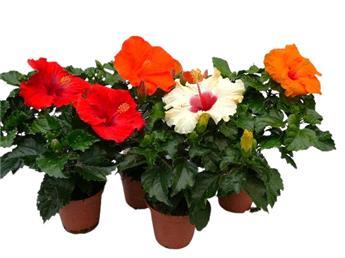 HIBISCUS rosa sinensis D13 x9 35-40CM