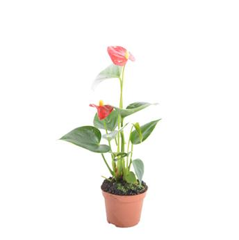 MINI ANTHURIUM andraeanum D06 X12 MIX