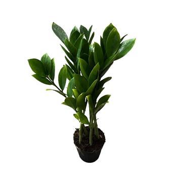 ZAMIOCULCAS zamiifolia D35 100CM Philodendron a feuilles