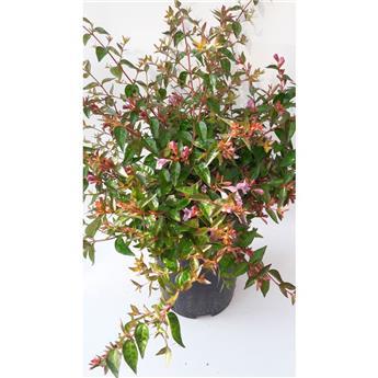 ABELIA grandiflora D20 Edward Goucher
