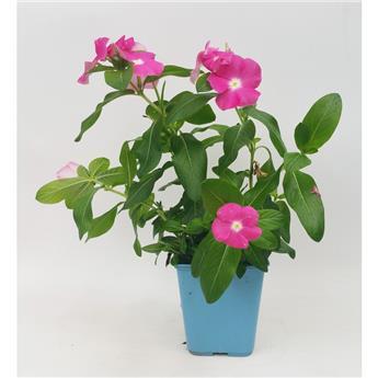 CATHARANTHUS roseus C01 Pervenche de Madagascar