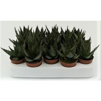MINI ALOE broomii D05 P X20