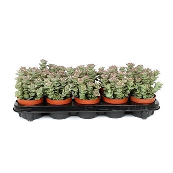CRASSULA perforata D10 X10