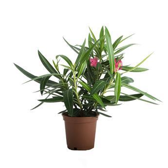 NERIUM oleander D14 040-050CM Laurier ROSE