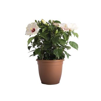 HIBISCUS rosa sinensis D30 Rose de Chine