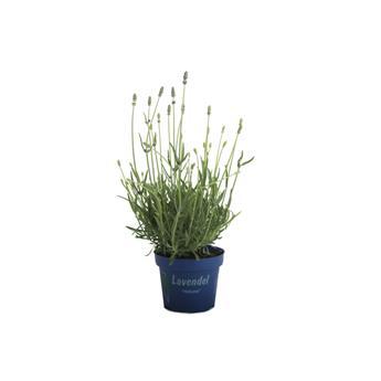 LAVANDULA angustifolia D12 x8 Lavande Vraie