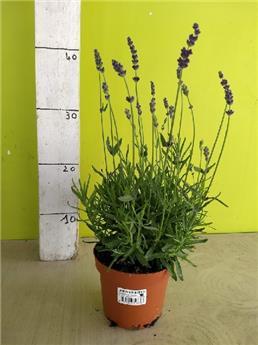 LAVANDULA angustifolia D13 x10 Blue Scent Lavande vraie