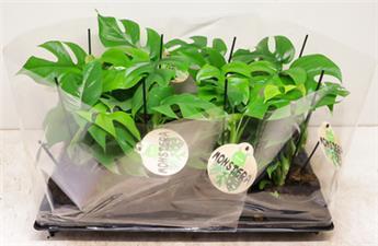 MONSTERA obliqua D12 P X6 Monkey Leaf