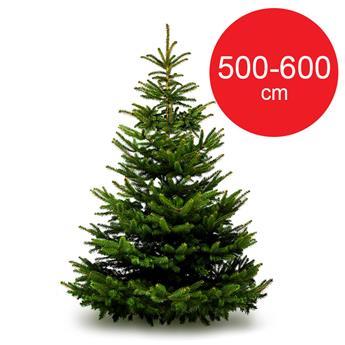 SC NORDMANN 500-600CM