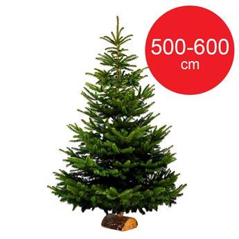 SC NORDMANN BUCHE 500-600CM BUCHE 100MM