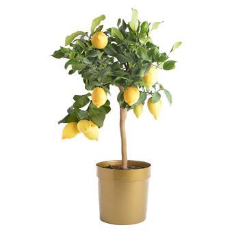 CITRUS limonia D20 Lemon 70-80CM 4+ FRUIT
