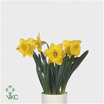 NARCISSUS cyc D13 X9 Gold medal