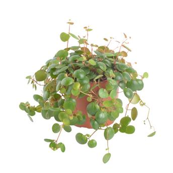 PEPEROMIA pepperspot D11 x8