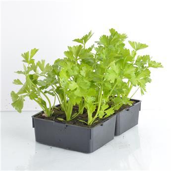 APIUM graveolens B12 Celeri Branche VERT Lino