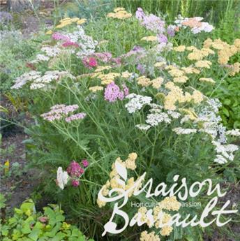 ACHILLEA millefolium C05 Tutti frutti
