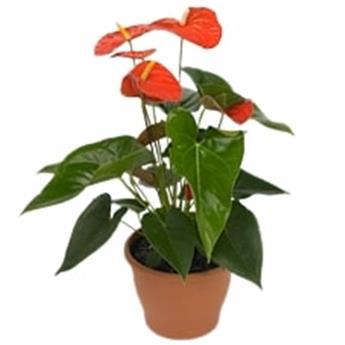 ANTHURIUM andreanum D09 P X12 Orange Champion Fleur d