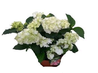 HYDRANGEA macrophylla D19 Schneeball