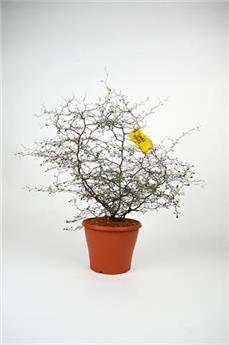 COROKIA cotoneaster D23