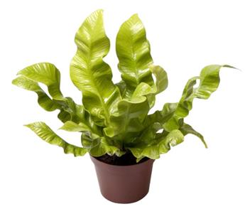 MINI ASPLENIUM nidus D06 X12 Crispy Waves Fougere