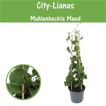 MUEHLENBECKIA australis D14 P x7 City Liana
