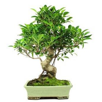 BONSAI FICUS retusa 16 ANS