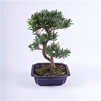 BONSAI PODOCARPUS macrophyllus 09ANS Conifere persistant