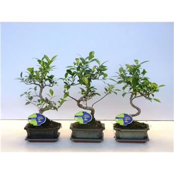 FICUS retusa D15 P BONSAI Ball-Shape