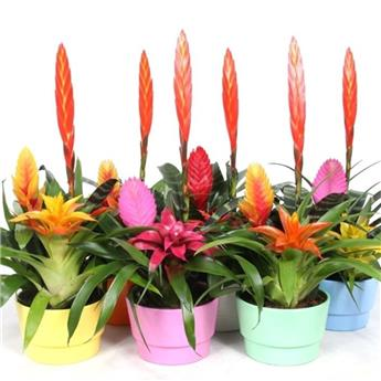BROMELIACEE   D16 CP x6  COUPE