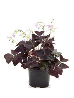 OXALIS triangularis D10-11 x8 Purpurea Trefle feuille
