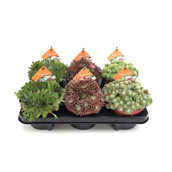 SEMPERVIVUM D13 MIX X6 Orpins