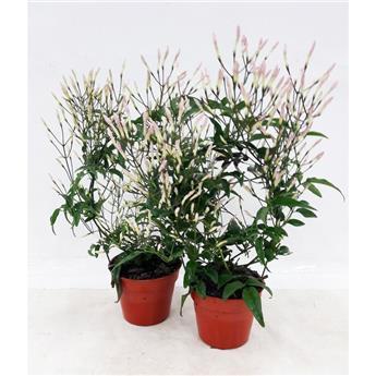 JASMINUM polyanthum D09 x10 Arceau